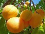 Куда делись абрикосы