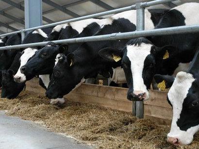 Импорт из Грузии в Азербайджан крупного рогатого скота несколько снижена, более чем на восемь процентов