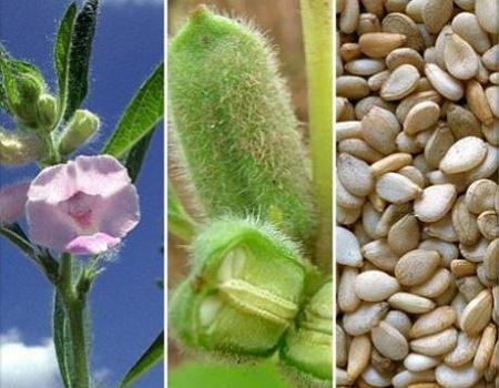 Кунжут: большая польза маленьких семян
